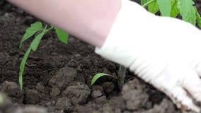 Prik weg van tomatenplant stock videobeelden