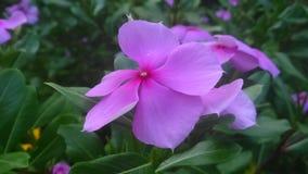 Prim cor-de-rosa Fotografia de Stock