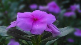 Prim cor-de-rosa Foto de Stock