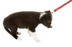 Prima camminata del cane su un guinzaglio Fotografia Stock