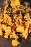 Prima. Cogumelo. Imagem de Stock