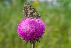 Prima colazione della farfalla Fotografia Stock