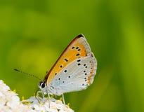 Prima colazione della farfalla su un fiore Fotografie Stock Libere da Diritti