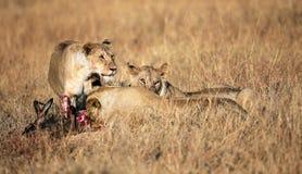 Prima colazione a Mara masai Fotografia Stock