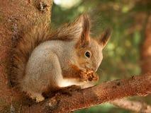 Prima colazione per lo scoiattolo Fotografia Stock Libera da Diritti