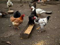 Prima colazione sull'azienda agricola Immagine Stock