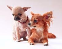 Prima data, coppia dei cuccioli della chihuahua Immagini Stock