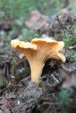 Prima do cogumelo Fotos de Stock