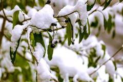 Prima neve bianca pura sull'foglie verdi fertili Fotografia Stock Libera da Diritti