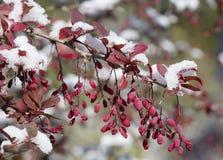 Prima neve su un ramo dei crespini Fotografia Stock Libera da Diritti