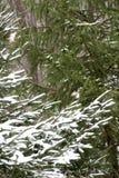 Prima neve sul ramo del pino fotografia stock libera da diritti