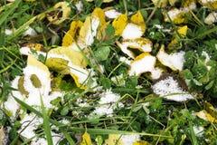 Prima neve sulle foglie di autunno e sull'erba verde Fotografia Stock