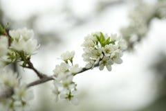 Prima prugna dei fiori della molla fotografia stock