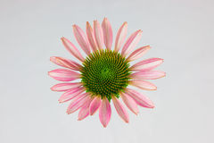 Primadonna Deep rose Coneflower Stock Photography