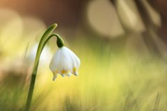 This is primarily a European species. Leucojum vernum. Free nature. A rare plant in Czech nature. The wild nature of Europe Royalty Free Stock Photo