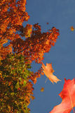 Primarily Falling. Colourful autumn leaves falling from the trees stock photos