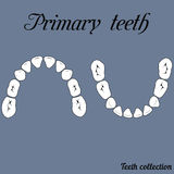 Primary teeth Chewing surface. Primary teeth  Chewing surface - crown and root , the number of teeth upper and lower jaw done in vector are easy to edit for Royalty Free Stock Photography