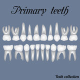 Primary teeth. Crown and root , the number of teeth upper and lower jaw done in vector are easy to edit for print or design Stock Photography