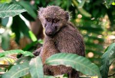 Primat av Tanzania royaltyfri foto