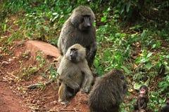 Primat av Tanzania royaltyfria bilder