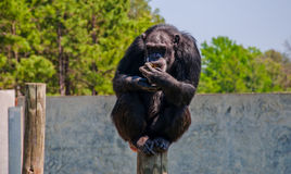 Primat de chimpanzé s'asseyant sur un poteau grand tenant la nourriture Image stock