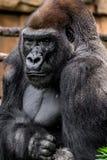 Primat de gorille photographie stock