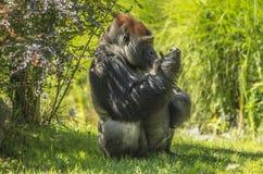 Primat de gorille Photographie stock libre de droits