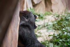 Primat de gorille photos libres de droits