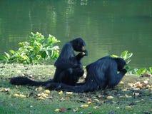 Primat härmar familjen som utomhus matar den naturSpindel-spindeln apan Royaltyfri Fotografi