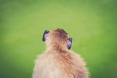 primata Foto de Stock Royalty Free