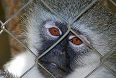 Primata triste Foto de Stock