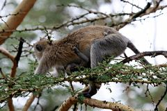 Primatas de Tanzânia foto de stock royalty free
