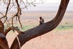 Primatas de Tanzânia foto de stock