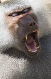 Primate. A big and dangerous primate opening the mouth Royalty Free Stock Images