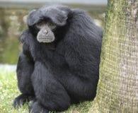 primate Fotografie Stock