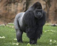 primate Fotografia Stock