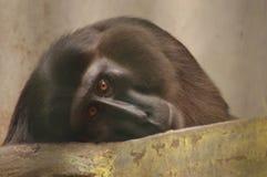 Primate. Animal primate apes monkey royalty free stock image