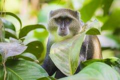 Primate azul o diademed salvaje del mitis del Cercopithecus del mono en un h?bitat de bamb? montane imperecedero de la selva foto de archivo libre de regalías