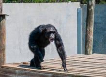 Primate de griterío enojado del chimpancé en los nudillos Imagen de archivo