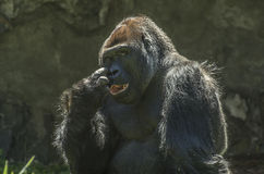 Primate del gorila Imagenes de archivo