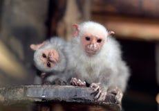 Primate del micco Fotografie Stock