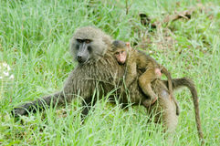 Primate family Stock Photos