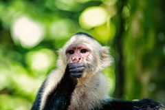 Primate in jungle on sunny day. Wild animal on blurred natural background. Wildlife and nature concept. Monkey resting in rainforest of Honduras. Capuchin with stock photo
