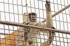 Primate looks out of the cage. At the zoo monkeys royalty free stock images