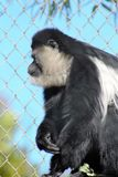 Primate Stock Photography