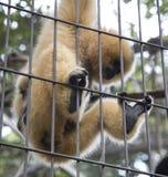 A primate mammal sentenced in a cage Stock Photos