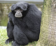 Primate. Monkey with his thoughtful expression makes us reflect on how close to us our ancestors Stock Photos