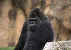 Primate Stock Image