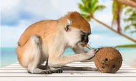 Primate Monkey. Macaque Animal Fruit Isolated On White White Background Food stock image