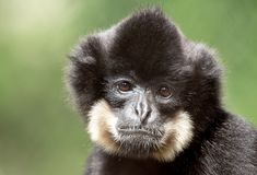 Primate gibbon Nomascus gabriellae. Primate Nomascus gabriellae, close up portrait shallow focus Royalty Free Stock Photography
